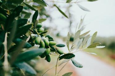 Польза оливкового масла: новое исследование ученых